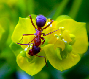 ant-euphorbia
